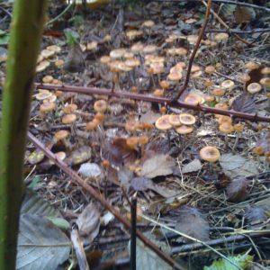 Psilocybe Cyanescens - Cubensis-Spores com