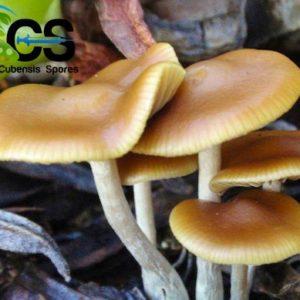 Cubensis-Spores com - Cubensis-Spores com